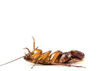 Dead Cockroach and roach eggs on white background