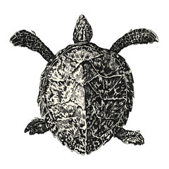 vintage vector animal drawing: retro illustration of a sea turtle (loggerhead or caretta caretta)