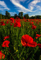 poppy flowers field in mountains