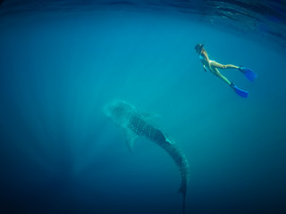 Beautiful Young Woman Swimming with Whale Shark in a Tropical Deep Ocean. Blue Wild Background View. Whale Shark in Crystal Clean Water. Girl Snorkeling with Shark. Blue Dramatic Diving. Underwater