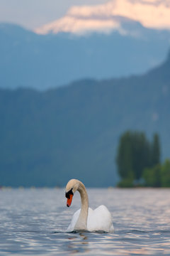 The swan and the lake