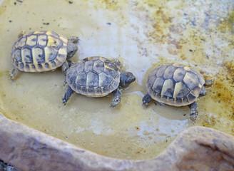 babies turtles hermann