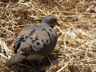 Channel Island Pigeon