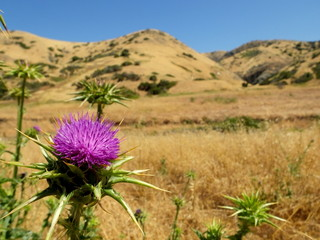Channel Island Thistle
