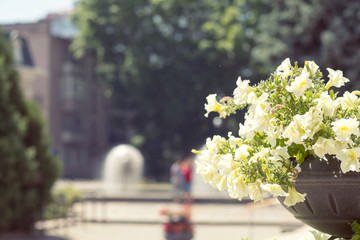 Street flowers and herbs decor concept. Petunia flowers on the street. Sunny day. Shallow depth of field.