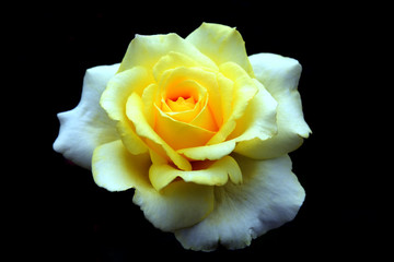 Beautiful pale yellow-white rose isolated on black background