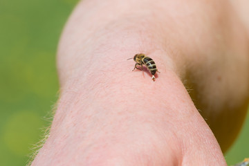 Biene Honigbiene (Apis mellifera) hinterlässt Ihren Stachel mit Giftblase in der Haut und fliegt weg