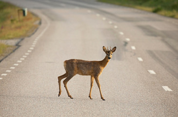 In de dag Ree Roe deer (Capreolus capreolus) On the road.