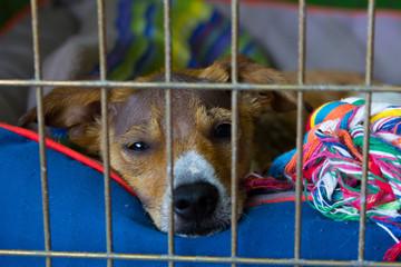Sad dog with alopecia waiting for someone - adoption concept