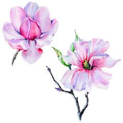 Wildflower Magnolia flower in a watercolor style isolated.