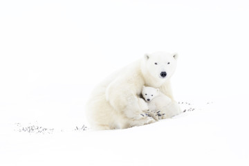 Poster Ijsbeer Polar bear mother (Ursus maritimus) playing with two new born cubs, Wapusk National Park, Manitoba, Canada