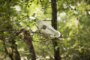 Animal skull hanged in a tree, near Letea village, in the Danube Delta area, Romania, in a sunny summer day