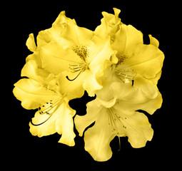 Bush of natural yellow pelargonium flowers isolated on black