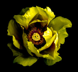 Surreal dark chrome yellow peony flower macro isolated on black