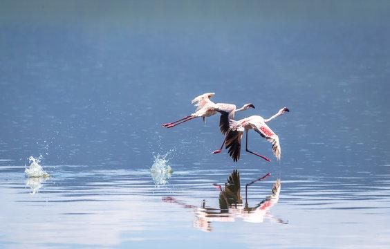 Flamingos in Lake Bogoria, East Africa, Kenya