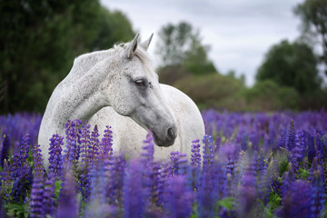 Portrait of a Palomino horse among blooming lupine flowers.