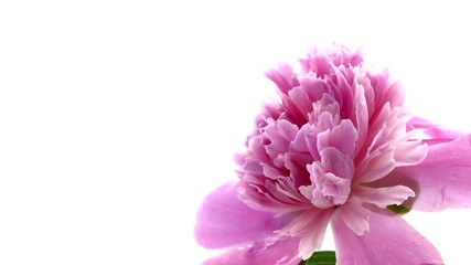 Fotoväggar - Beautiful pink peony flower bud blooming. Time lapse over white background. 4K UHD video 3840X2160