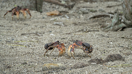 Two Giant Coconut Crabs Facing Off in Aldabra