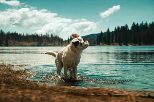 Junger labrador retriever hund welpe badet in einem see und schüttelt das wasser ab
