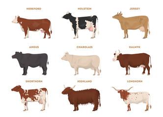 Cow set. Hereford, Holstein, Jersey, Angus, Charolais, Kalmyk, Shorthorn, Highland, Longhorn.