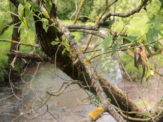 Deseased branch of tree witn yellow lichen