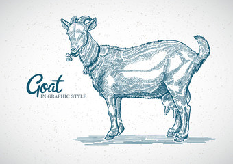 Goat in graphic style. Hand drawn and converted to vector Illustration