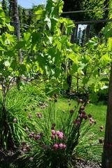 Lila blühender Schnittlauch im Weinlabyrinth