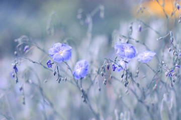 Field blue flowers of flax, the background is painted in a purple hue. Selective soft focus.