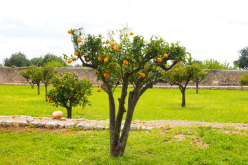 Orange tree, ripe fruit