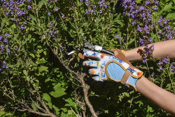 Woman's hands cutting sage herbs with secateurs wearing colorful garden gloves