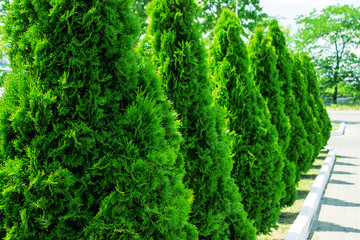 Thuja alley and road in summer Wall mural