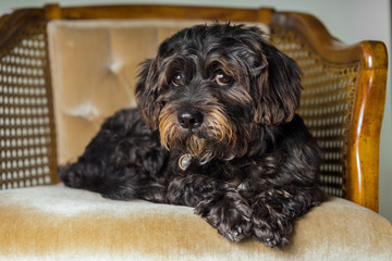 Small Black Shih Tzu mix breed dog canine lying down on chair while curious patient waiting watching sad uncertain alone sick bored lonely guilty