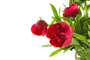 Beautiful pink peony flowers on white background