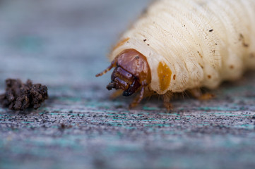 the larva of a beetle