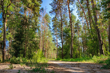 Rural road through a shady pine forest among the tall pine trees, spruces and shrubs