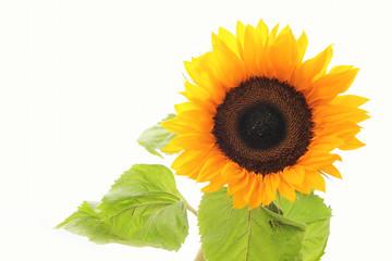 Sonnenblume, Blüte, Sunflowwer, Makro, Freisteller