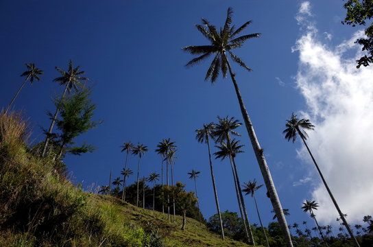 Wax Palm Trees in Cocora Valley, Colombia