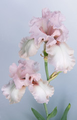 Beautiful pink Iris flowers