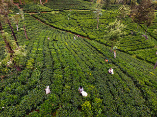 Aeral view of Tea plantation in India