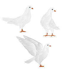 Carriers white pigeons domestic breeds sports birds vintage  set four vector  animals illustration for design hand draw