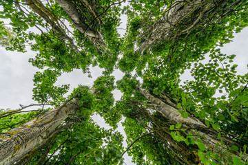 Perspective in nature, looking up at four large giant leaf trees against pale sky.