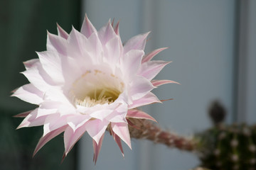 White flower from cactus Out