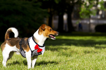 Dog Jack Russell Terrier dressed in a suit case