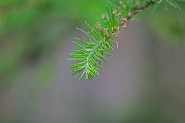 Gałązka drzewa iglastego.