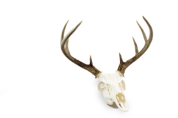 Whitetail Deer Buck Antlers and Skull