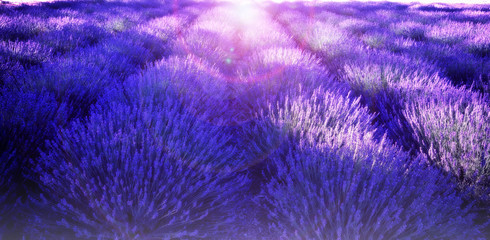 Lavender In Sunflare