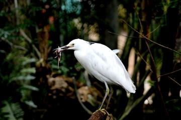 Bird Eating a Dead Rat