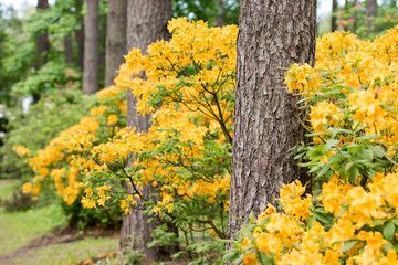 Yellow/orange rhododendron flowers with green background in park.Spring flowers,spring background/card, Pink rhododendrons with natural pattern in the garden. Copy space. Closeup of flowers background