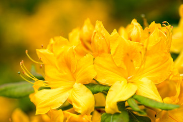 Yellow/orange rhododendron flowers with green background in park.Spring flowers,spring background/card,  rhododendrons with natural pattern in the garden. Copy space. Closeup of flowers background