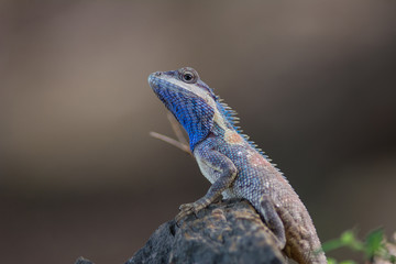 blue crested lizard (Calotes mystaceus) in tropical forest, thailand